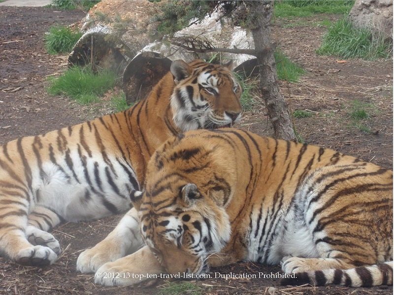 Gorgeous tigers at Zoo Boise
