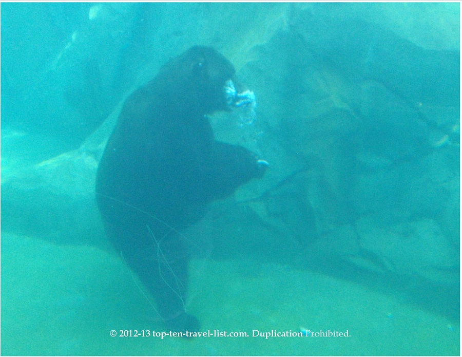 brown bear in underwater viewing area at Brookfield Zoo