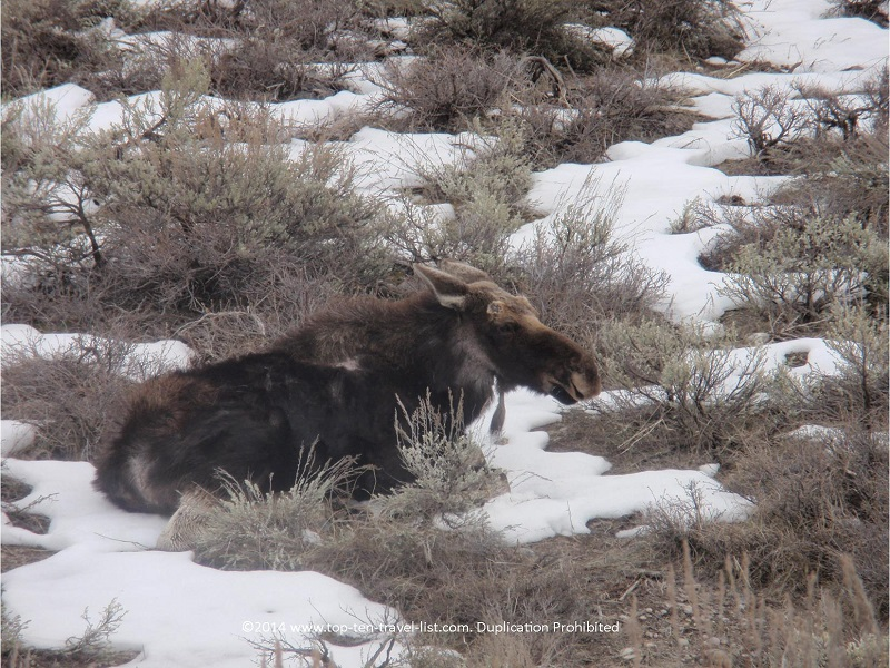 Moose sighting on Gros Ventre Road in Jackson Hole, Wyoming
