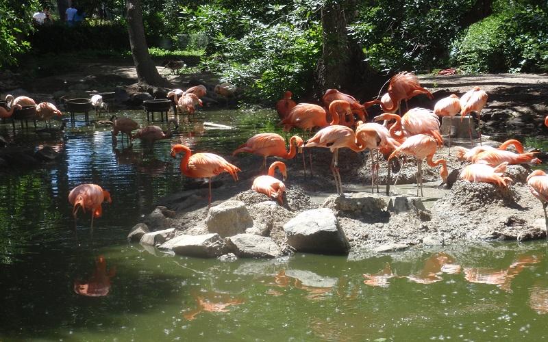Denver Zoo - flamingos