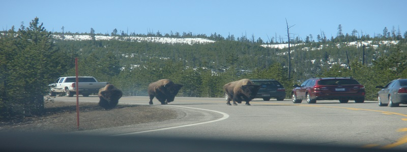 Yellowstone National Park - Bison in street