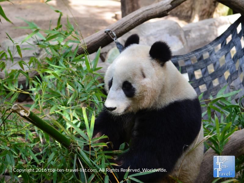 Closeup of a panda at the San Diego Zoo
