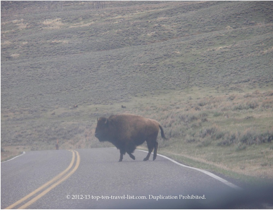 Bison on the road - Yellowstone