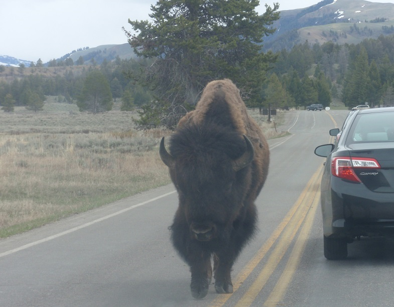 Bison walking alongside a car - Yellowstone
