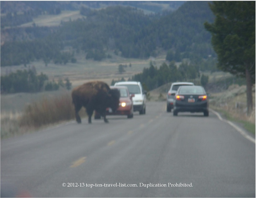 Bison crossing the road - Yellowstone