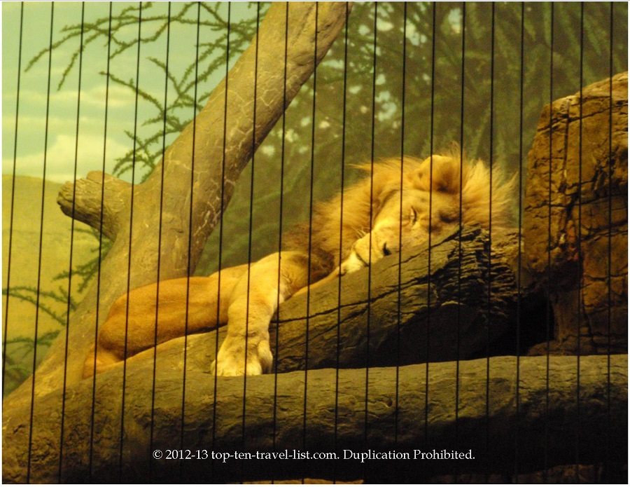 cute pic of lion sleeping at Lincoln Park Zoo - Chicago