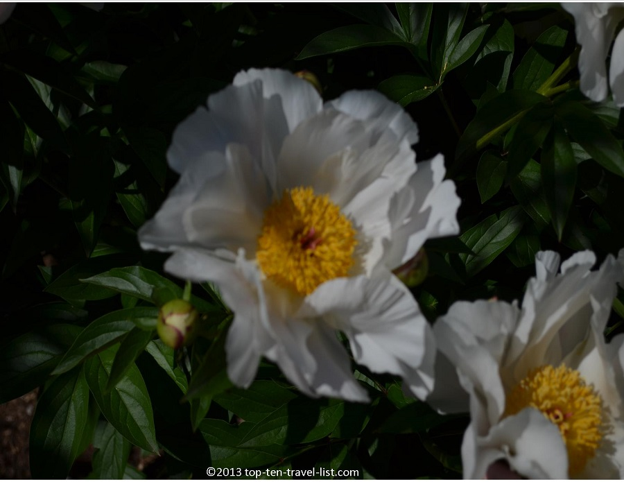 Peonies - The Arnold Arboretum - Jamaica Plains, MA