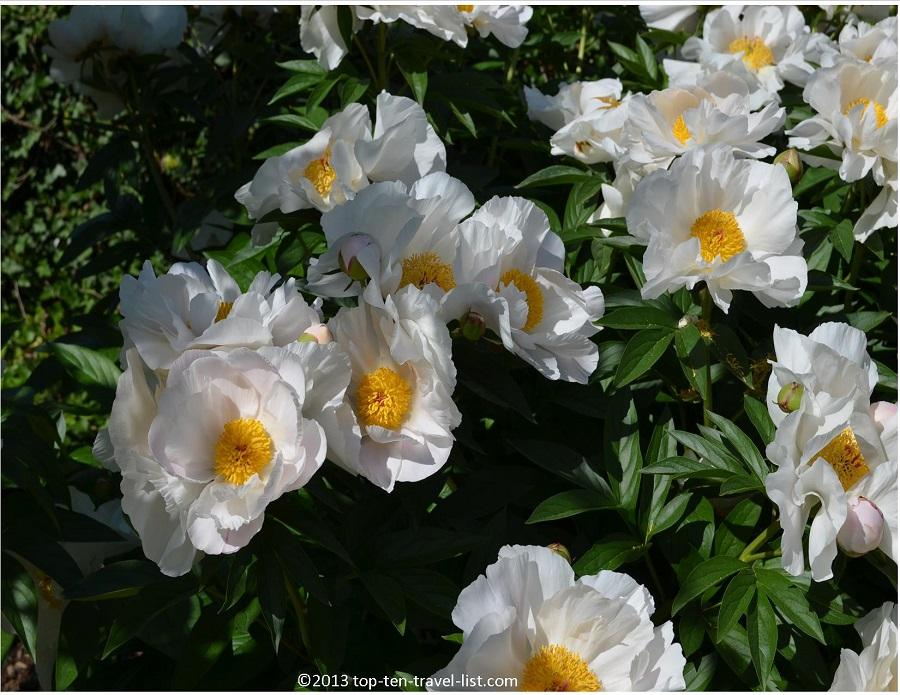 Peonies - The Arnold Arboretum - Jamaica Plain, MA