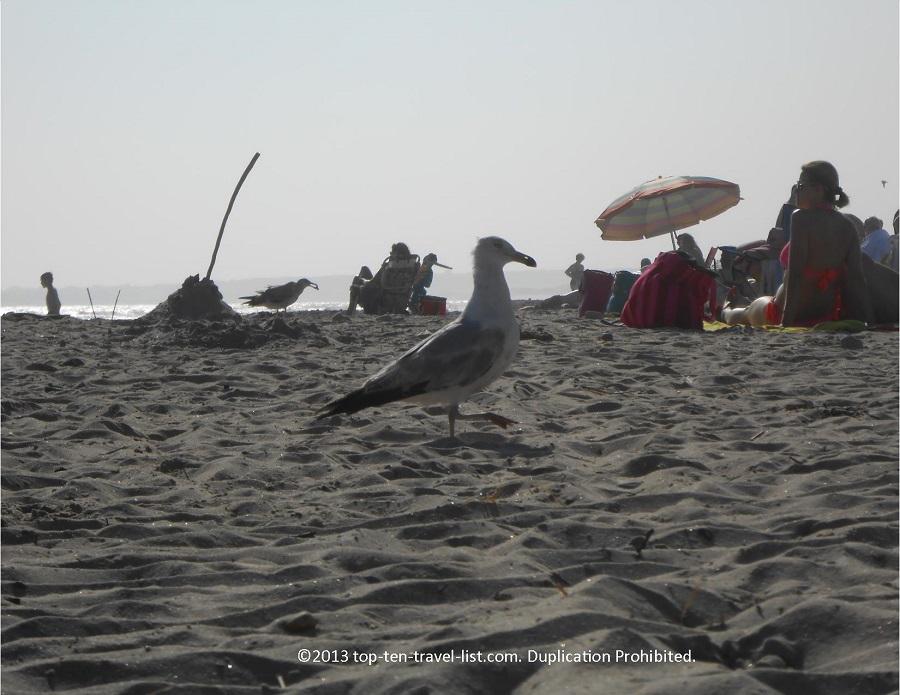 Horseneck Beach seagull - Westport, MA