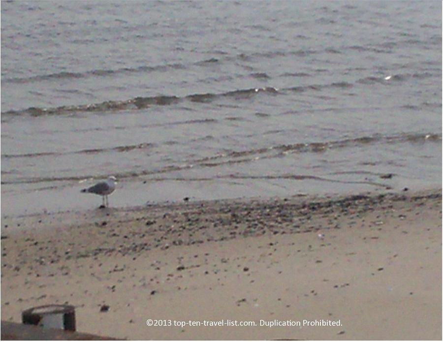 Bird on boardwalk - Atlantic City, New Jersey
