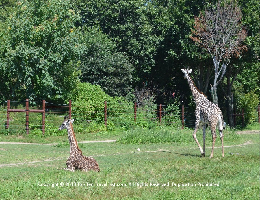 Giraffes at Franklin Park Zoo in Boston, MA