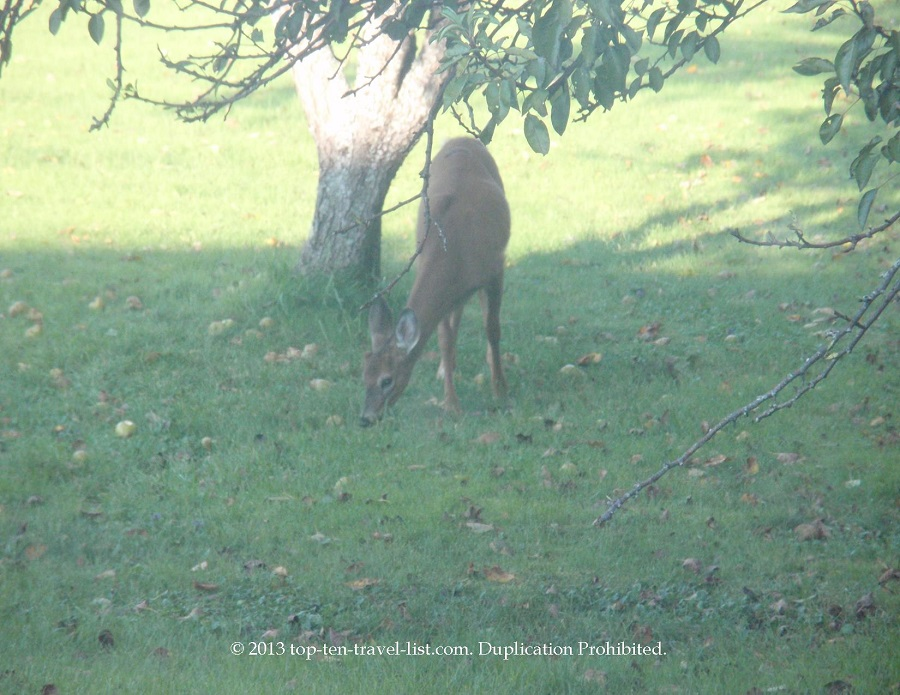 Deer outside our window in Islesboro, Maine