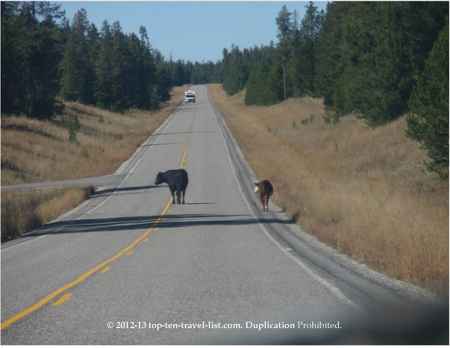 Cows on the road - Mesa Falls Scenic Byway