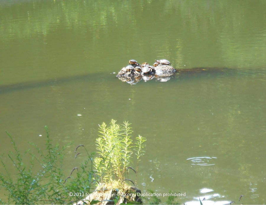 Turtles at Blue Hills Reservation in Massachusetts