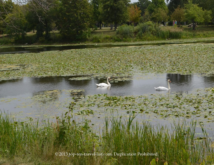 Swans at Lake Katherine in Palos Heights, IL
