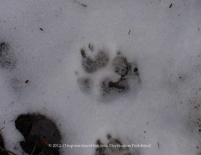 Bear footprints on the Greeley ponds trail - White Mountains