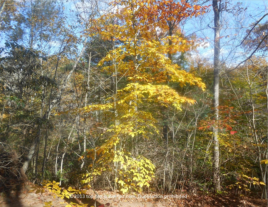 Yellow foliage at Devil's Hopyard State Park