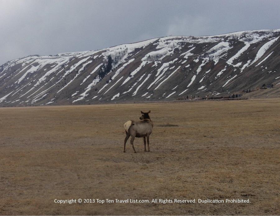Elk at the National Elk Refuge in Jackson, Wyoming