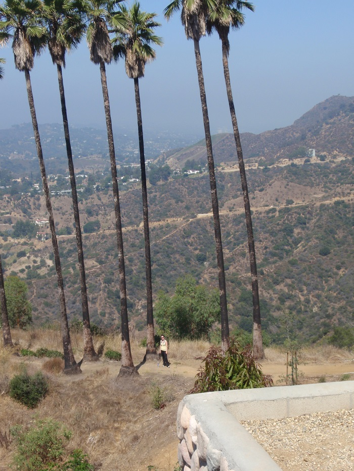 Palm trees at Griffith Park