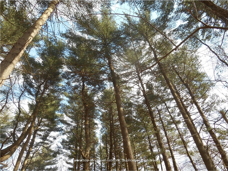 Tall trees at Caratunk Wildlife Refuge - Seekonk, MA