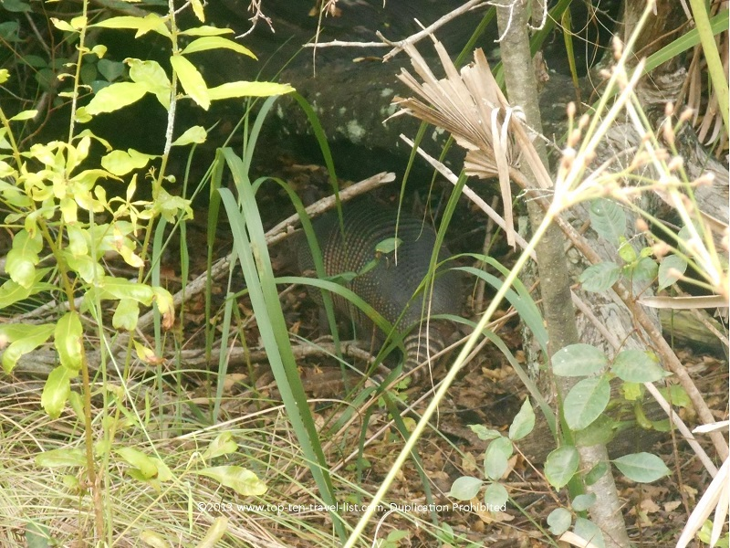 Armadillo hiding in the bushes at Honeymoon Island