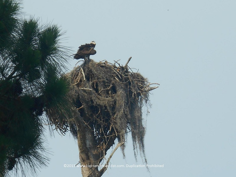 Bald eagle on Honeymoon Island's Osprey Trail