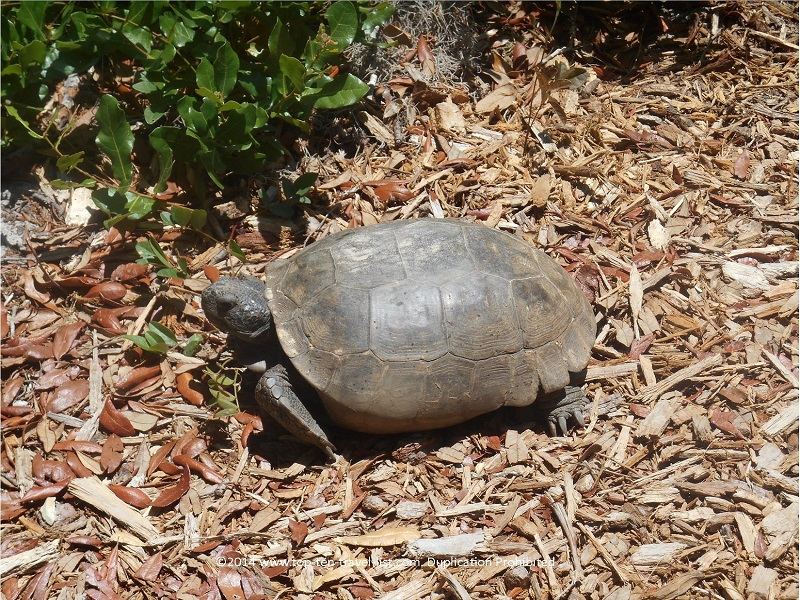 Turtle at James E. Grey Preserve in New Port Richey, Florida