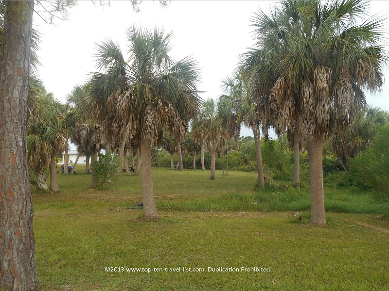 Palm trees around the picnic area - Honeymoon Island State Park
