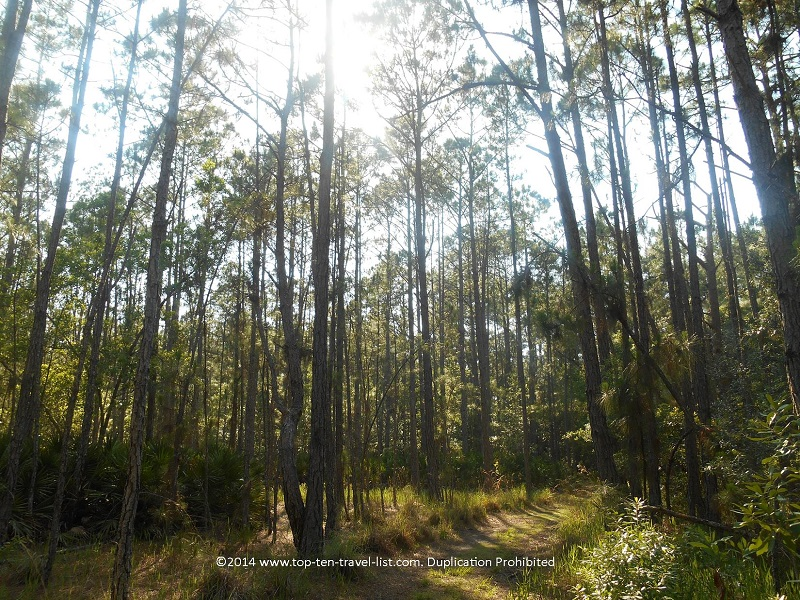 Pine forests at Brooker Creek Preserve in Tarpon Springs, Florida