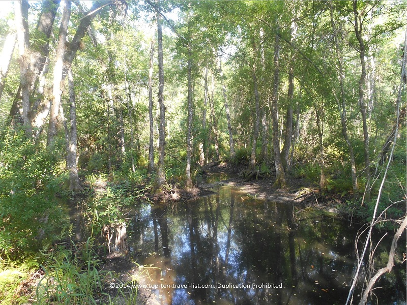 Bottomland swamp at Brooker Creek Preserve in Tarpon Springs, Florida