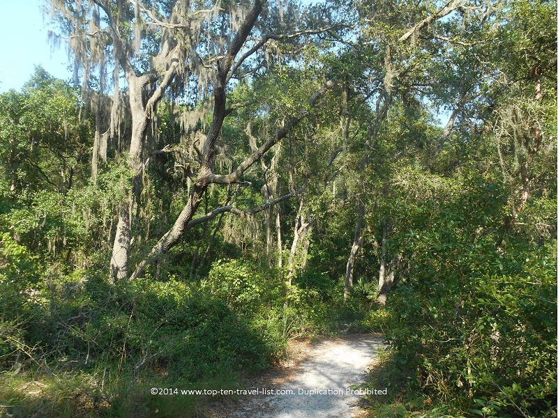 Beautiful Spanish moss tree on the Brooker Creek Preserve nature trail - Tarpon Springs, Florida