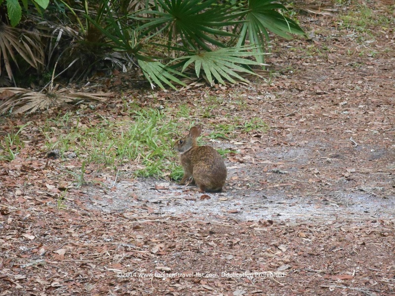 Bunny on Tampa's Lettuce Lake nature trail