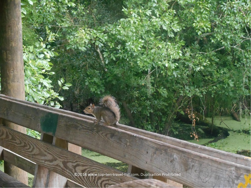 Lots of squirrels on the Lettuce Lake boardwalk in Tampa, Florida