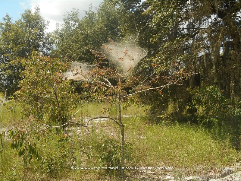 Huge spider webs on the trees at Conner Preserve in Land O'Lakes, Florida