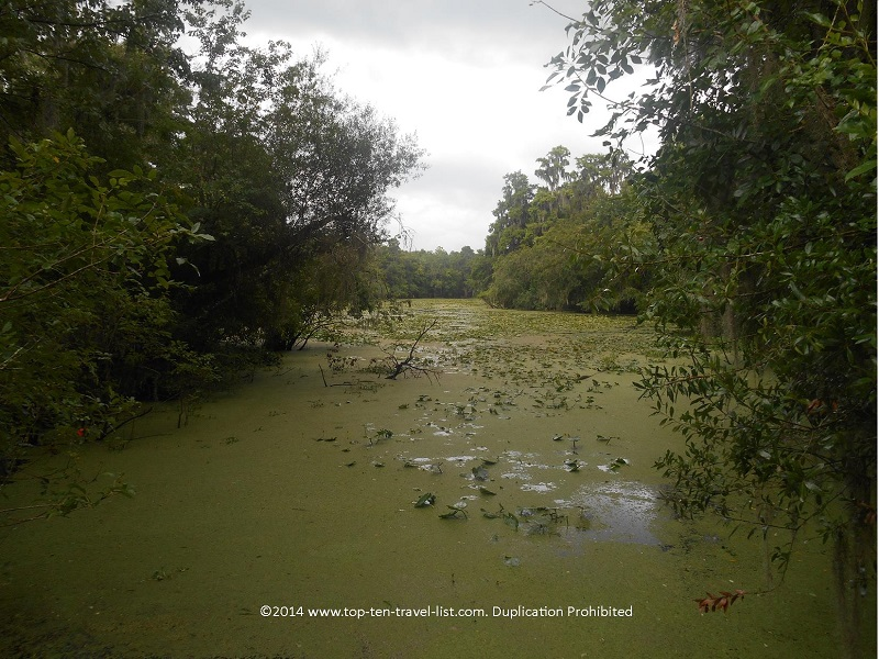 Swamp view on a rainy day at Lettuce Lake Park in Tampa, Florida