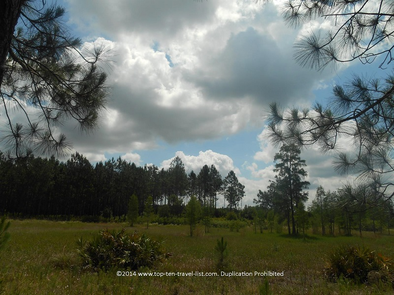 Forested views along the trails at Conner Preserve in Land O'Lakes, Florida