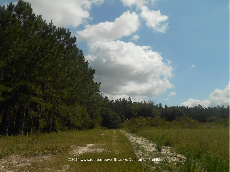 Forest views along the trails at Conner Preserve in Land O'Lakes, Florida