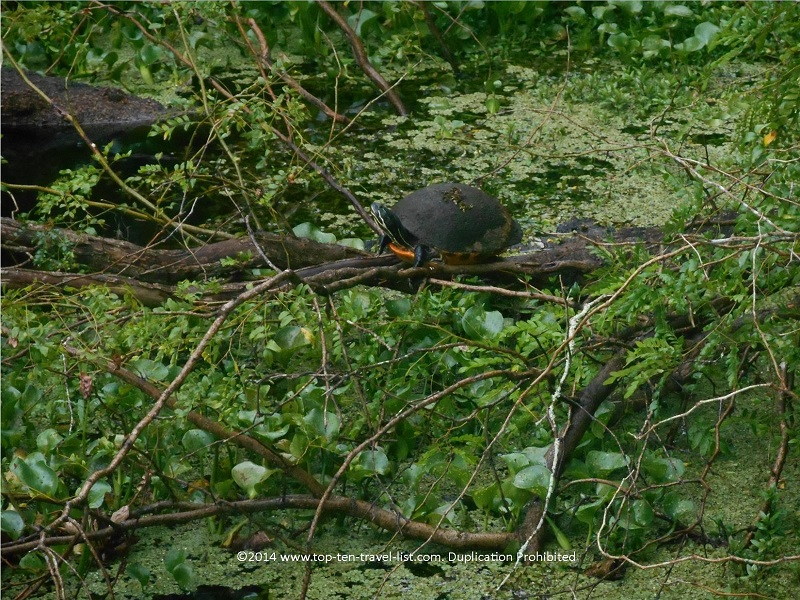 Turtle at Tampa's Lettuce Lake Park