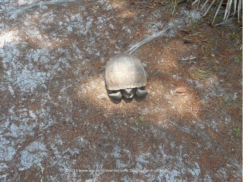 Gopher Tortoise hiding in its shell - Jay B. Starkey Wilderness Park - New Port Richey, FL