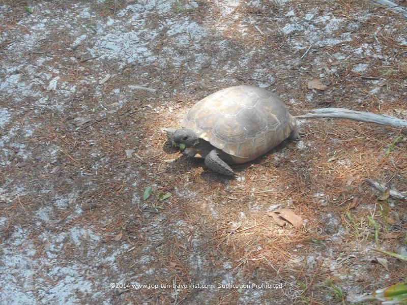 Gopher Tortoise at Jay B. Starkey Wilderness Park - New Port Richey, FL