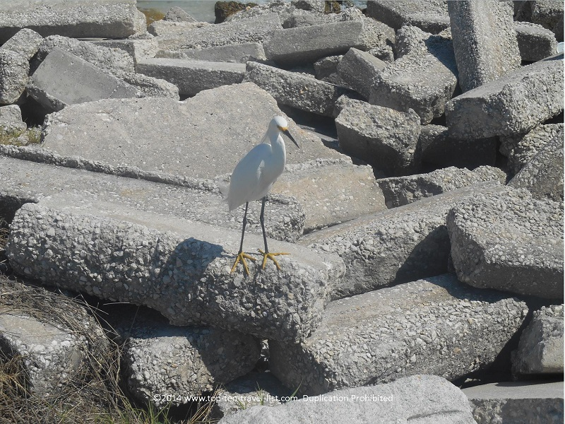 Snowy Egret at Pass-A-Grille Beach in St. Petersburg, Florida