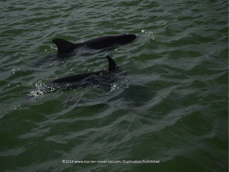 Up close views of 2 dolphins on a cruise in Madeira Beach, Florida