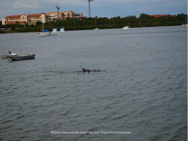 2 dolphins traveling together in Madeira Beach, Florida