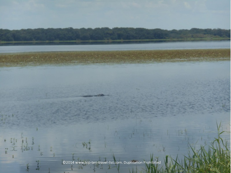 Alligator swimming in Florida's Upper Myakka Lake