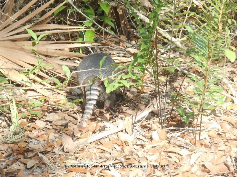Armadillo hiding on hiking trail at Weedon Island Preserve - St. Petersburg, Florida