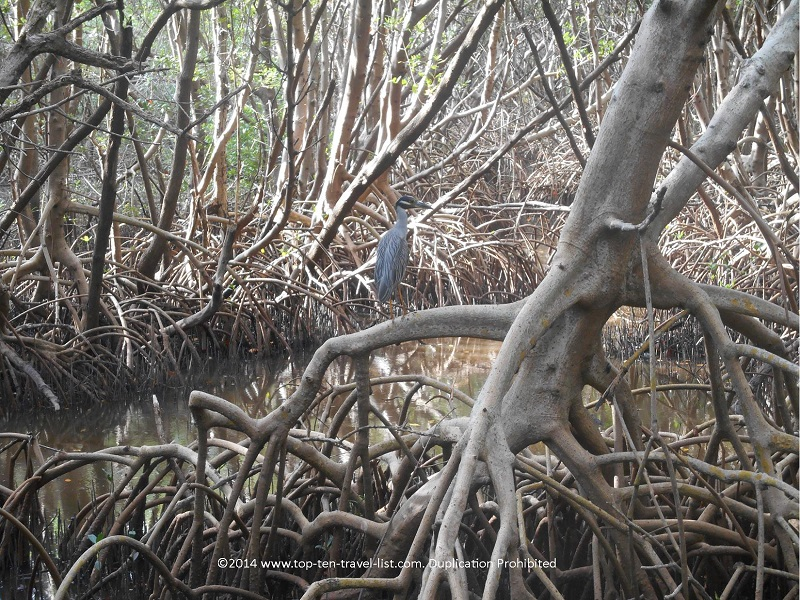 Beautiful bird along the trail at Weedon Island Preserve in St. Petersburg, Florida