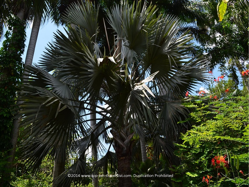 Bismark palm at Sunken Gardens in St. Petersburg, Florida