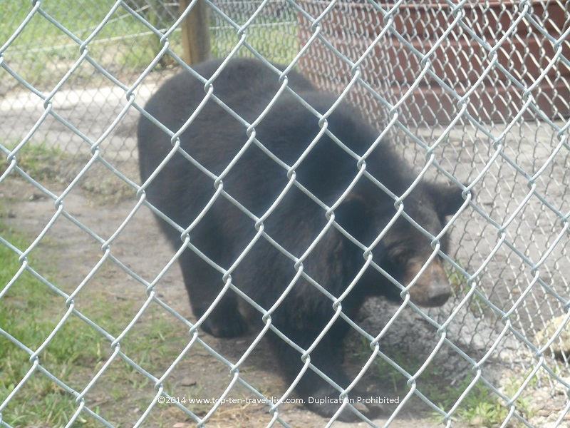 Black Bear at Big Cat Habitat in Saraota, Florida
