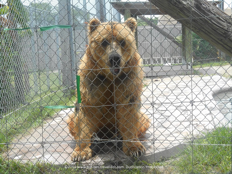 Brown Bear at Big Cat Habitat in Sarasota, Florida
