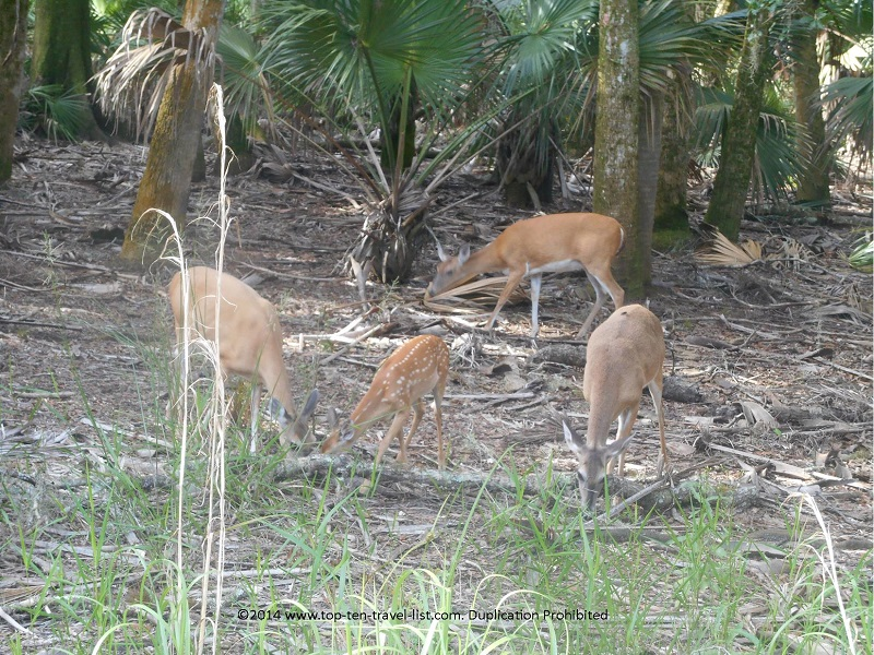 Group of deer on the hiking trail at Weedon Island Preserve in St. Petersburg, Florida